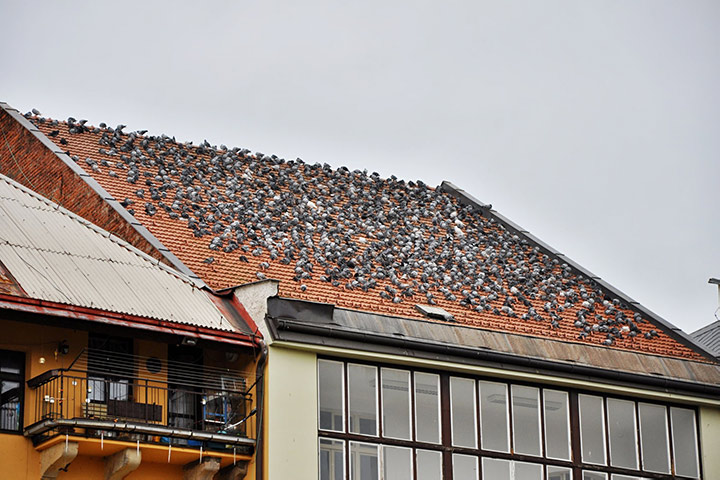 A2B Pest Control are able to install spikes to deter birds from roofs in Pimlico.